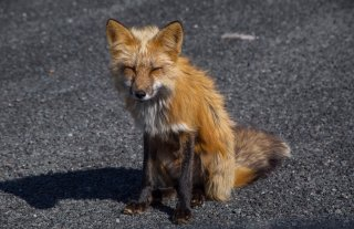 One of the friendly/hungry roadside foxes