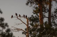 Turkey buzzards coming home to roost