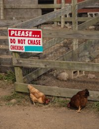 Do not anger the chickens. You wouldn't like them when they're angry.