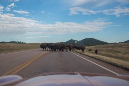Typical South Dakota morning bison jam