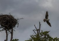 Osprey leaving the nest