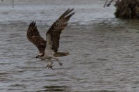 Osprey, carrying what's left of his lunch