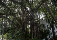 Banyan tree on Key West
