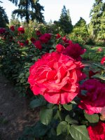 A classic red rose