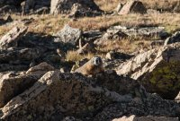 Your alpine friend, the marmot